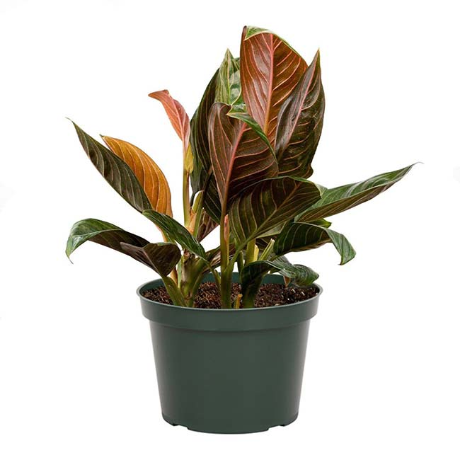 Houseplants : Best Indoor Air Filters -- Chinese Evergreen - American Plants