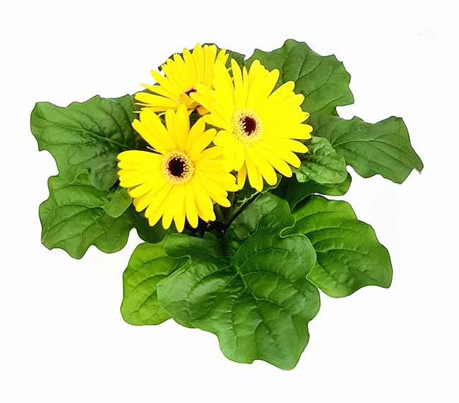Houseplants : Best Indoor Air Filters -- Barberton Daisy - Wonderland HG