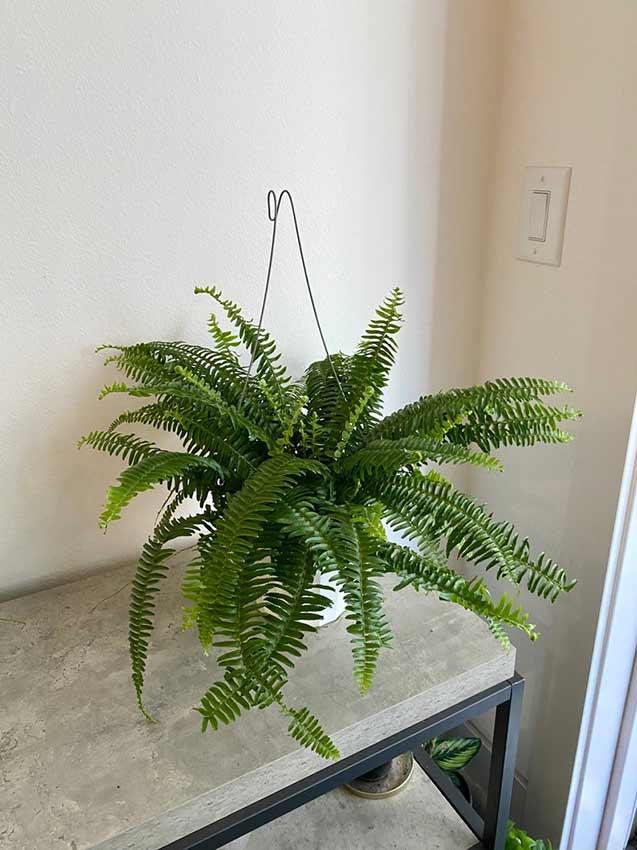 Houseplants : Best Indoor Air Filters -- Boston Fern