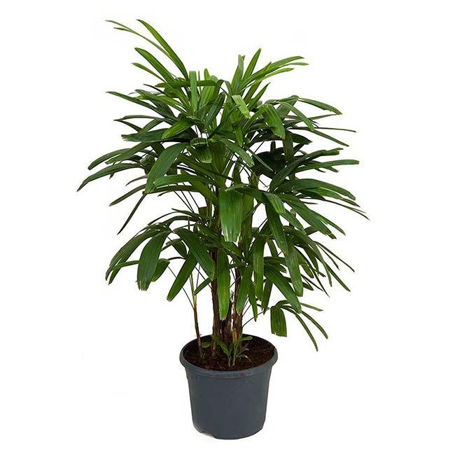 Houseplants : Best Indoor Air Filters -- Broadleaf Lady Palm - American Plants
