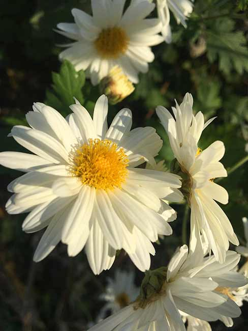 Houseplants : Best Indoor Air Filters -- Chrysantemum-morifolium -- Companion Plants