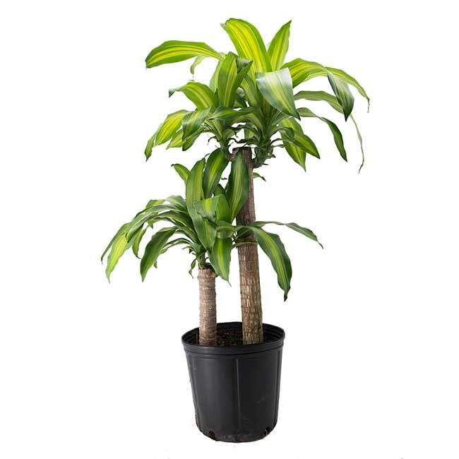 Houseplants : Best Indoor Air Filters - Cornstalk Dracaena - American Plants