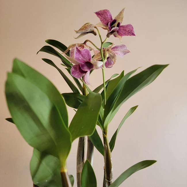 Houseplants : Best Indoor Air Filters -- Dendrobium Orchid