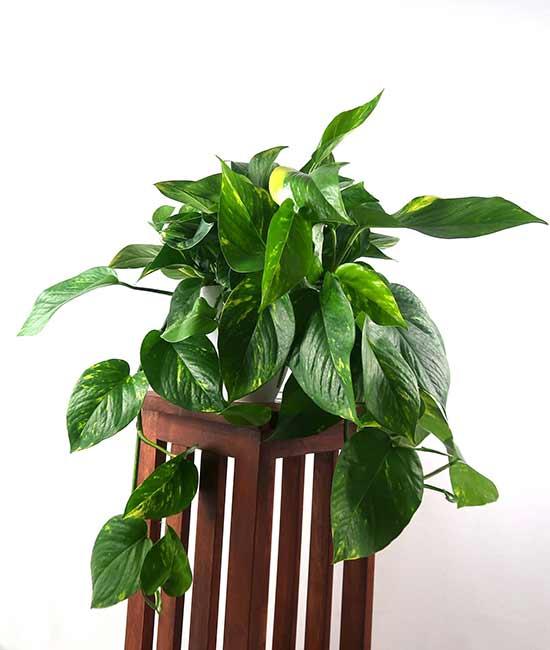 Houseplants : Best Indoor Air Filters -- Devil's Ivy - Pretty in Green Plants