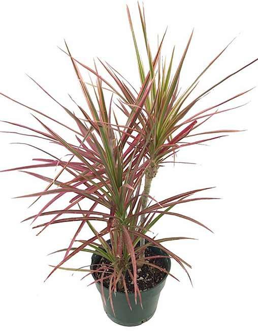 Houseplants : Best Indoor Air Filters -- Dracaena Marginata - Plantemonium
