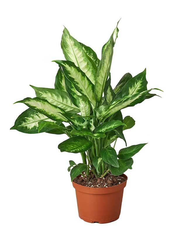 Houseplants : Best Indoor Air Filters -- Dumb Cane - IndoorPlantsLLC