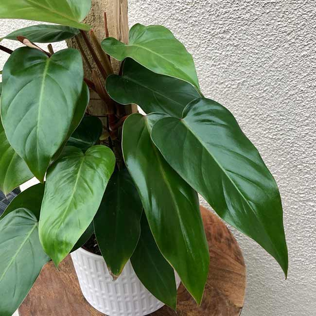 Houseplants : Best Indoor Air Filters -- Elephant Ear Philodendron - Home Plant Inspiration