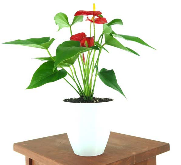 Houseplants : Best Indoor Air Filters-- Flamingo Lily - Pretty In Green Plants