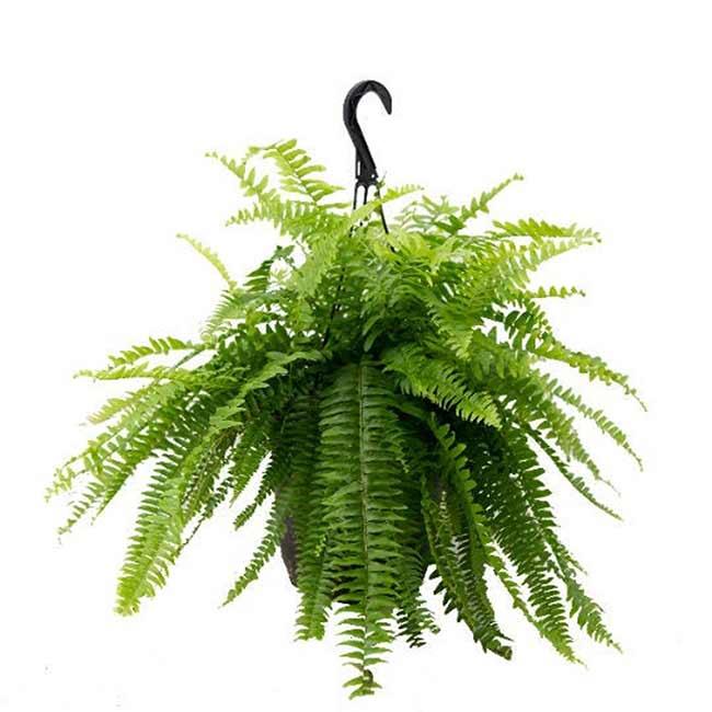 Houseplants : Best Indoor Air Filters -- American Plants