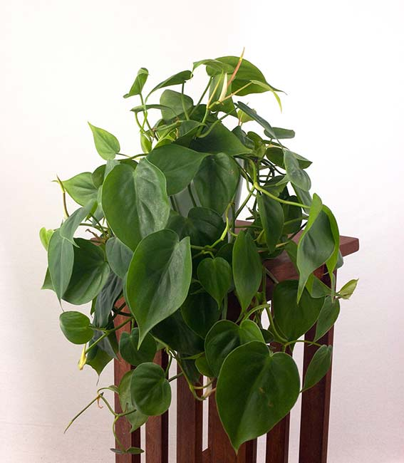 Houseplants : Best Indoor Air Filters -- Large Heartleaf Philodendron - Pretty In Green Plants