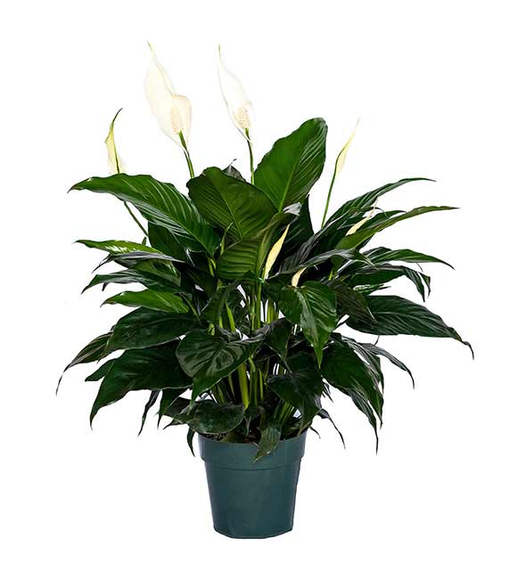 Houseplants : Best Indoor Air Filters -- Peace Lily -- Friendship Foliage