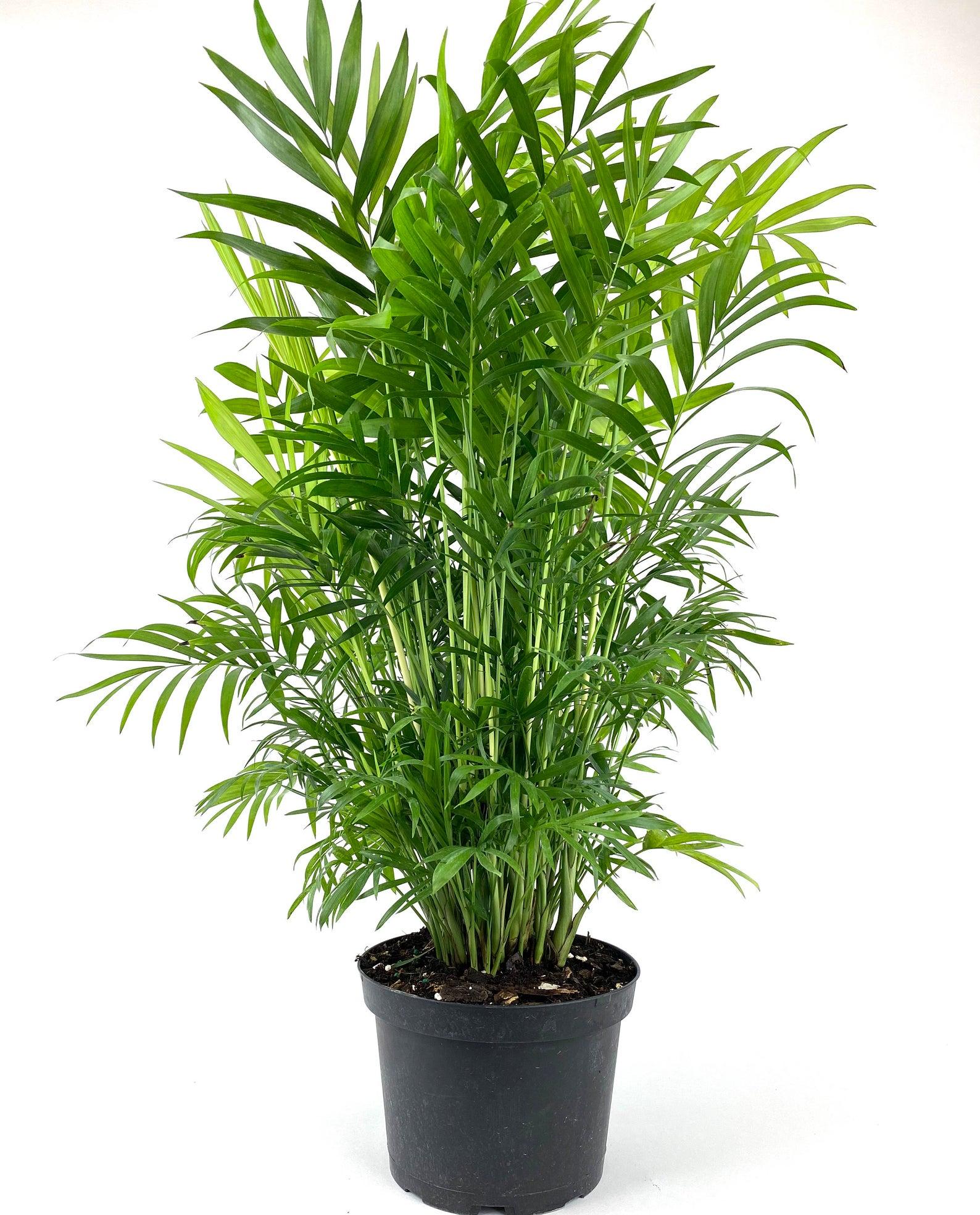 Houseplants : Best Indoor Air Filters -- Reed Palm - Eureka Farms LLC