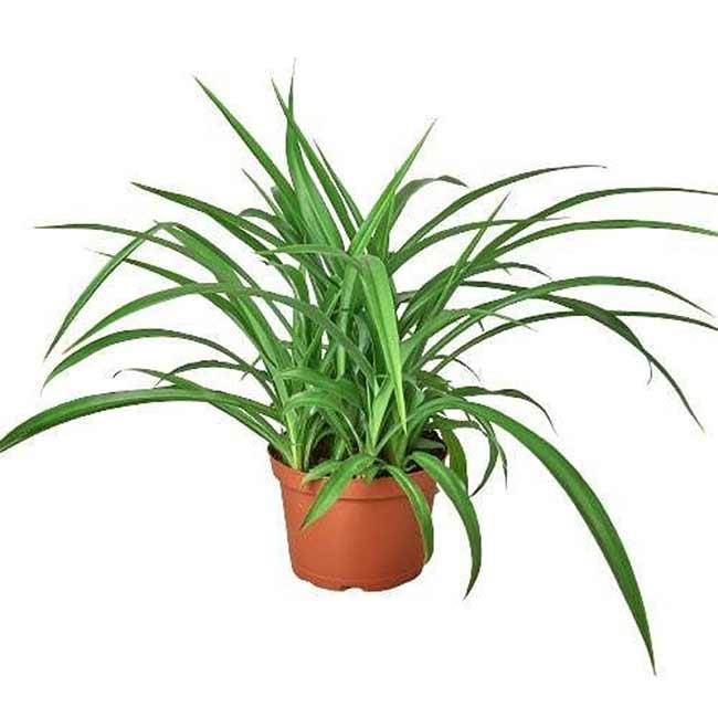 Houseplants : Best Indoor Air Filters - spider plant- Indoor Plants LLC