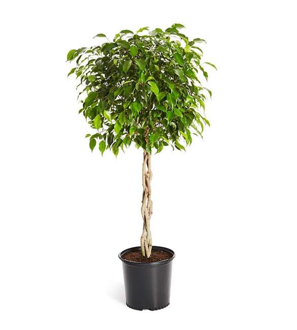 Houseplants : Best Indoor Air Filters -- Weeping Fig - Brighter Blooms